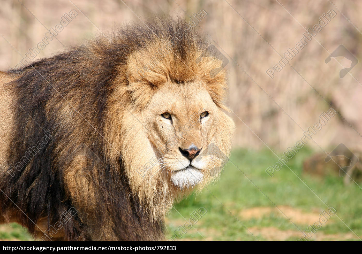 lion, portrait - 792833