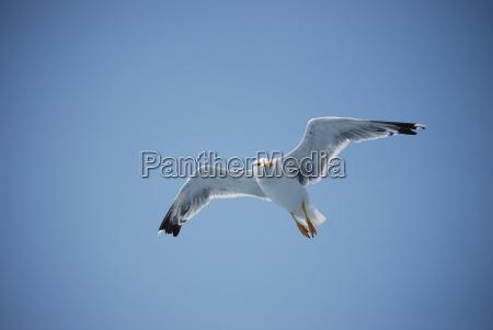 sea, gull, in, flight - 795591