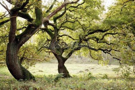 old, oaks - 799825