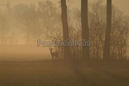 deer, at, dawn - 808691