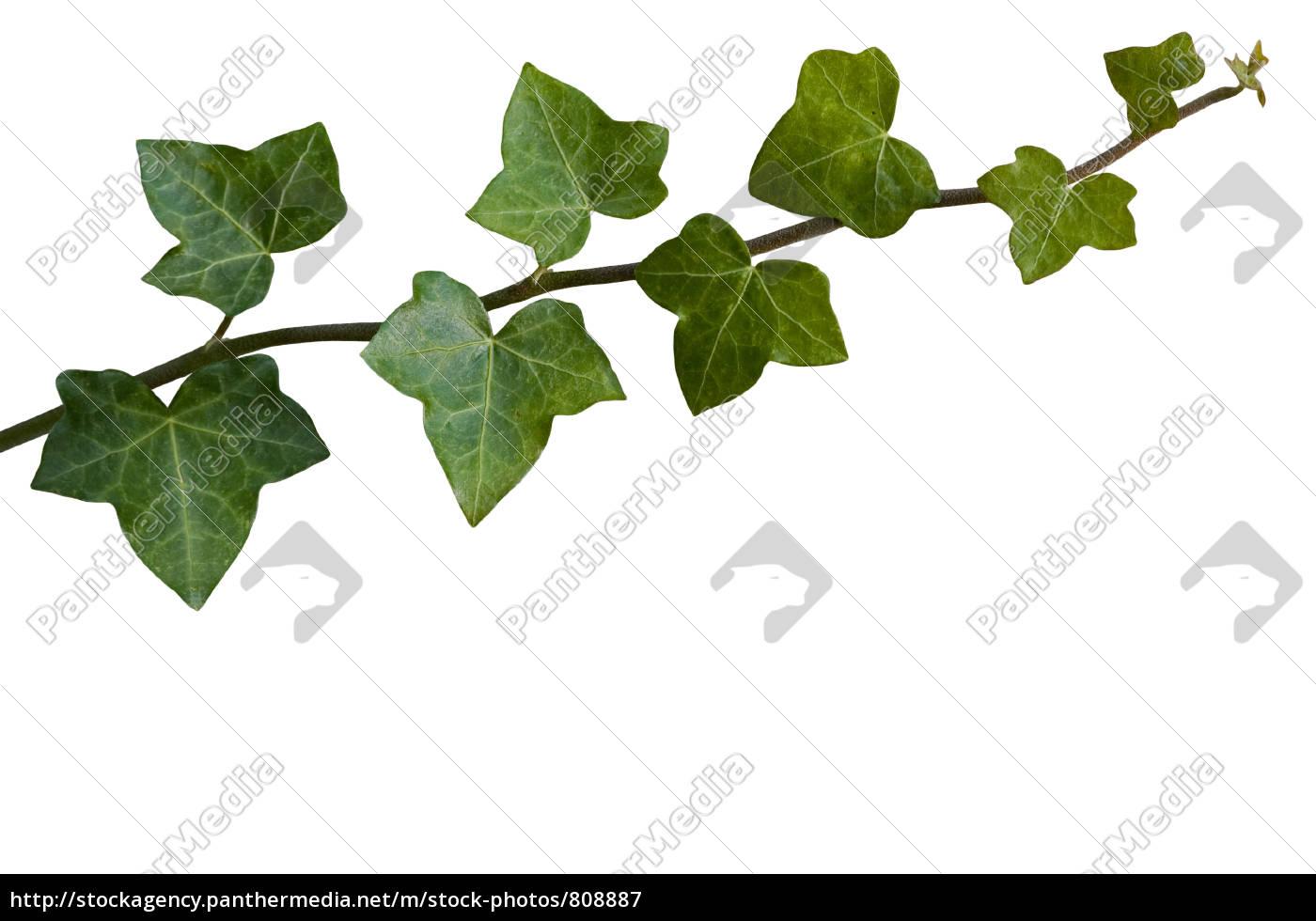 ivy - 808887