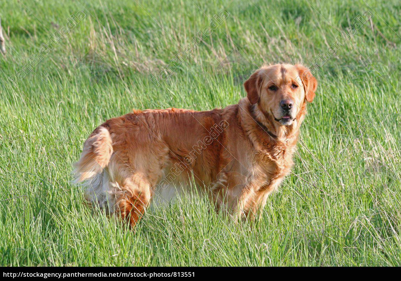 golden, retriever - 813551
