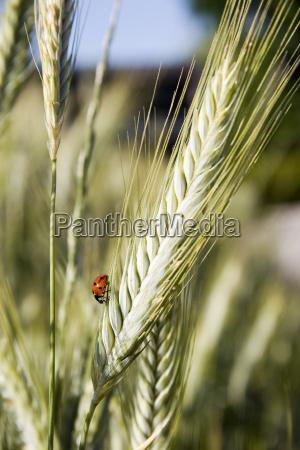 ladybug - 813529
