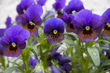 violet - 813677