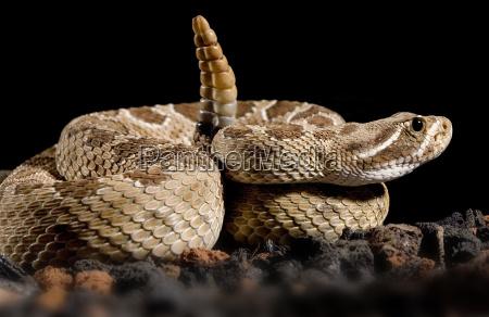 crotalus, scutulatus, (rattlesnake) - 815741