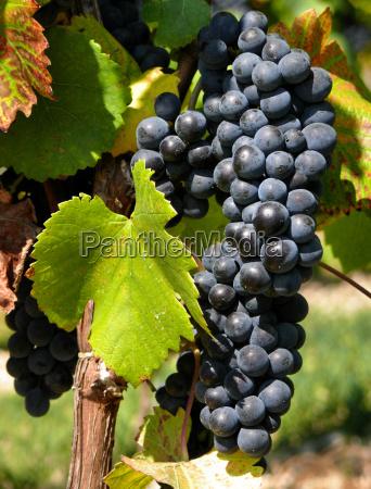 grape - 816155