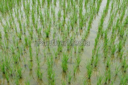 paddy, field - 816515