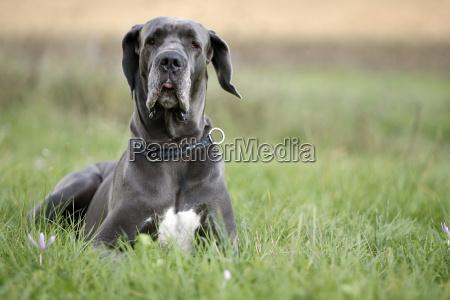 german, mastiff, dog - 817497
