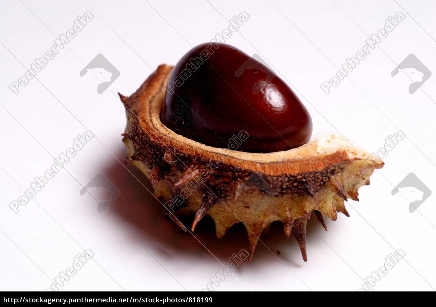 chestnut - 818199