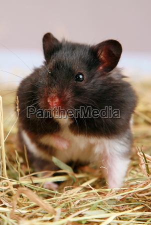 panda hamster