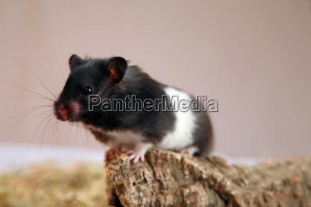 panda hamster 3