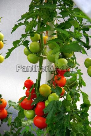 tomato, plant, 08 - 828435