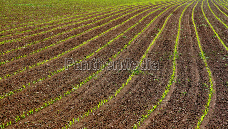 young corn plants