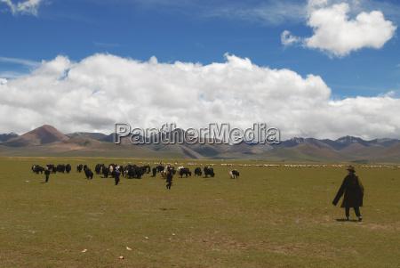 yak herd tibet