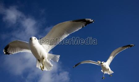 silver gulls during feeding