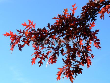 red, oak, (quercus, rubra), in, autumn - 886197
