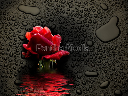 pure freshness the rose