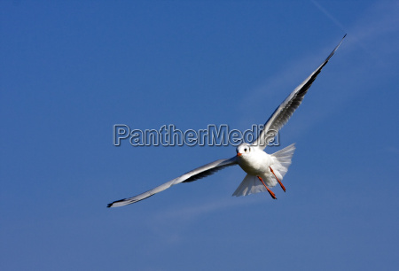 in gliding flight
