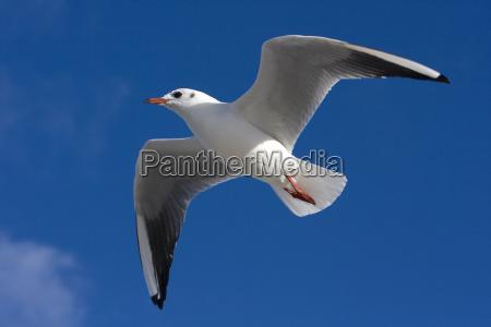 lach seagull