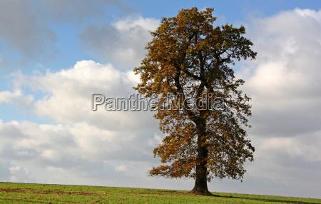 powerful oak