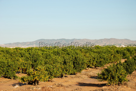 orange plantation in murcia spain