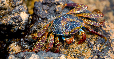 clip crab blue youth