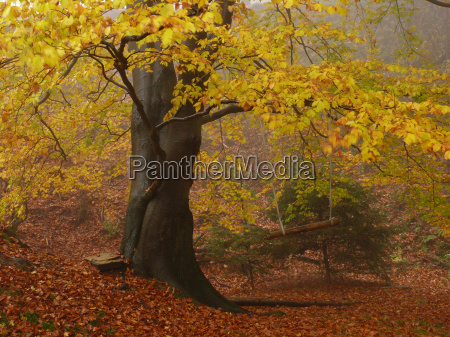 autumn forest beech