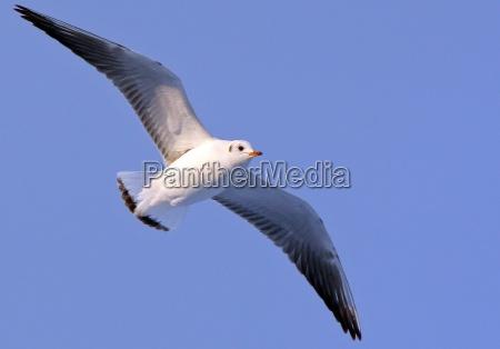 seagull in flight wildlife