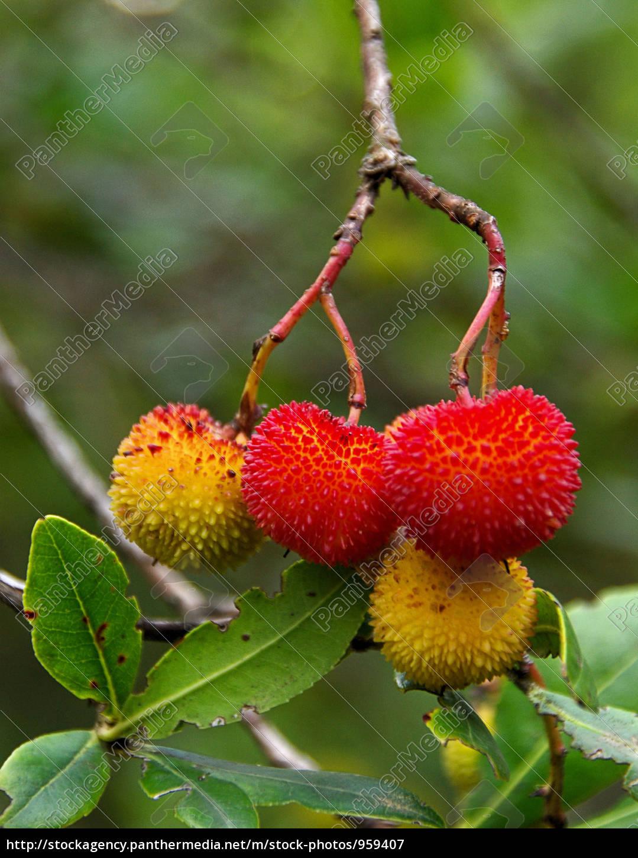 strawberry, tree, 08 - 959407