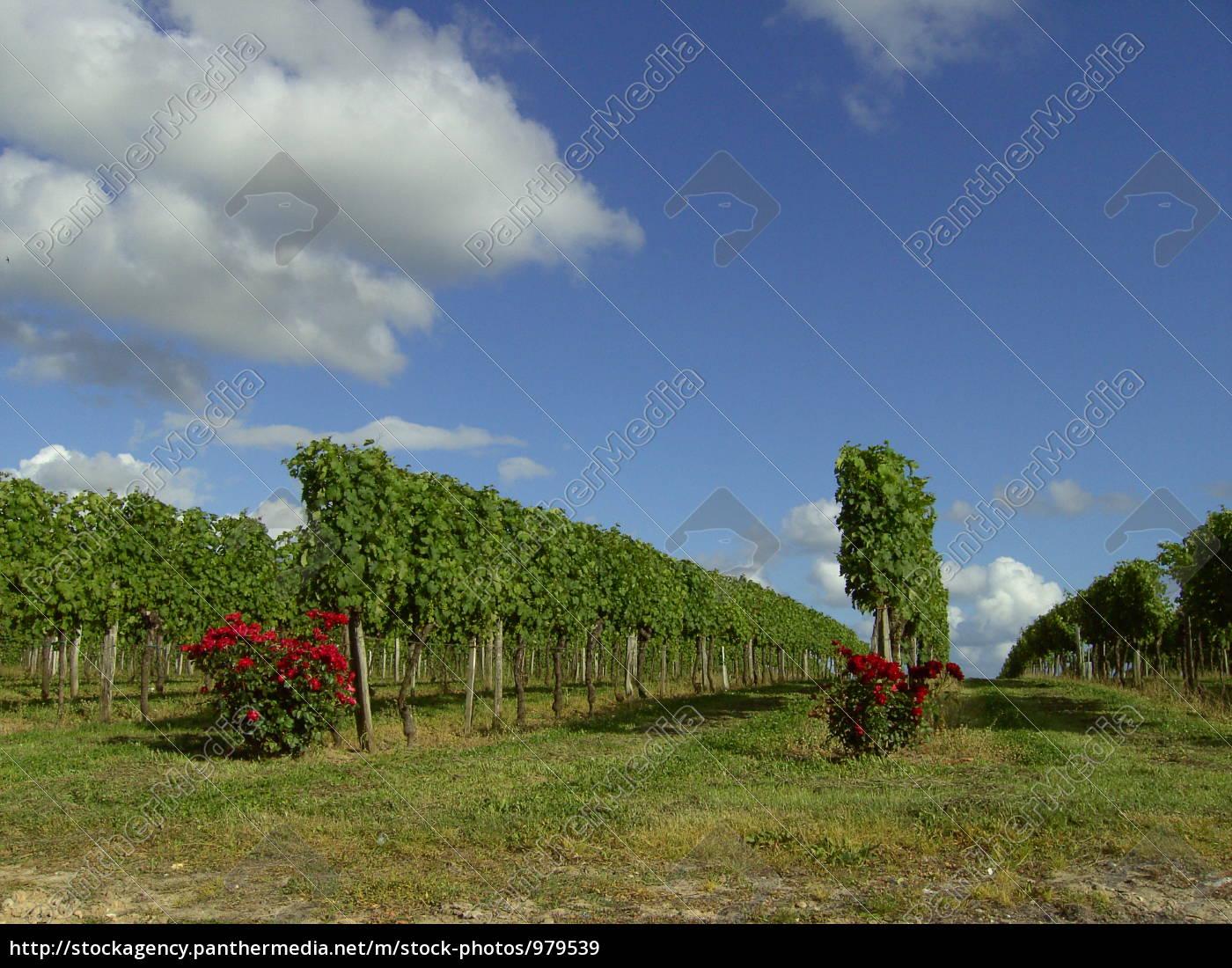 rose, in, front, of, vine, 01 - 979539