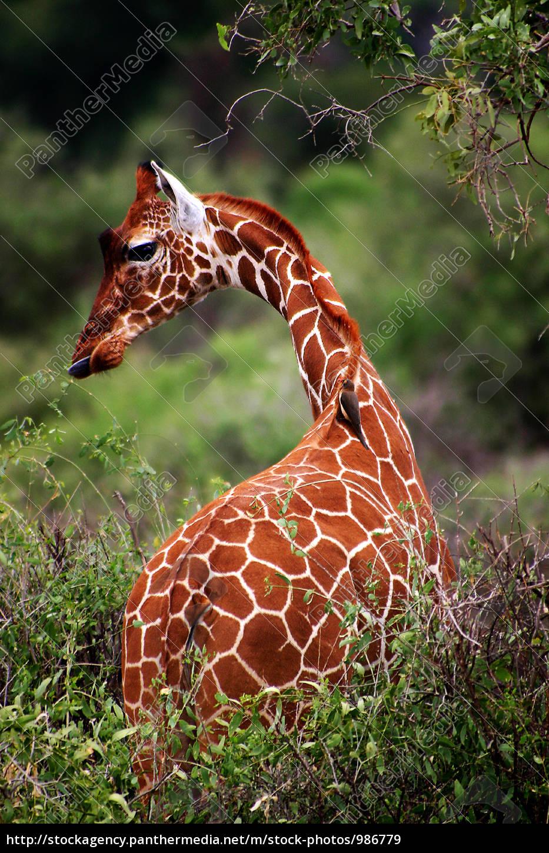 giraffe - 986779