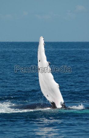 humpback whales off australia