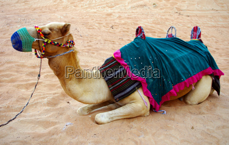 camel, 2 - 1028381