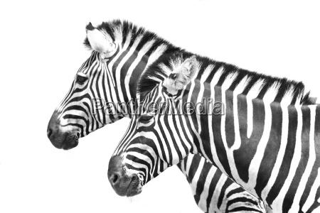 zebra, crossing - 1040137