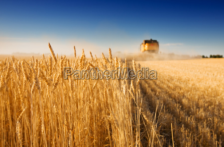 a combine harvester working