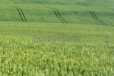 corn field nature cornflower grain cereal