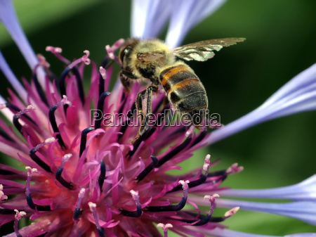 bee, with, cornflower - 1095581