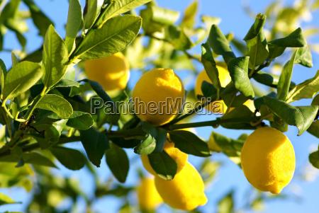 lemons growing on lemon tree