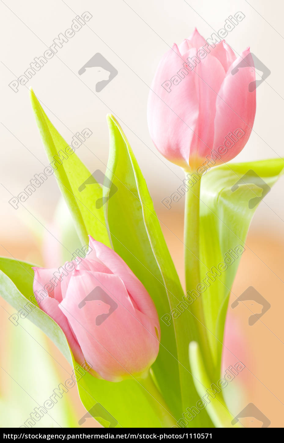 pink, tulips - 1110571