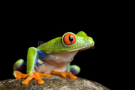 frog on a rock isolated on