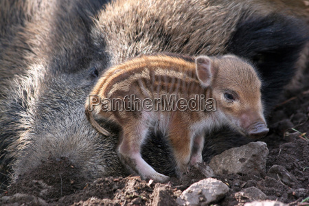 baby boar sits on mothers snout