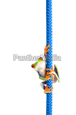 frog climbing rope isolated