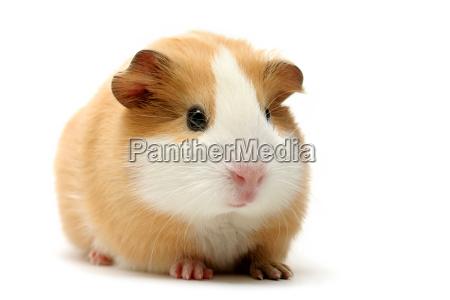 guinea, pig, on, white - 1133151