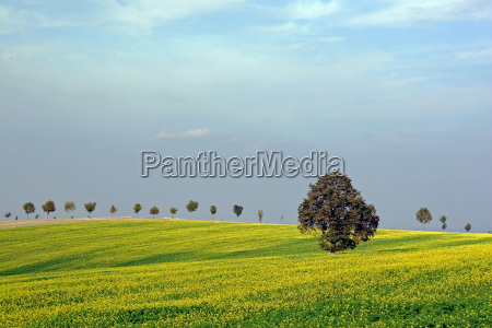 tree in the yellow field
