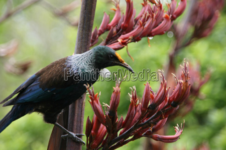 endemic tui in new zealand