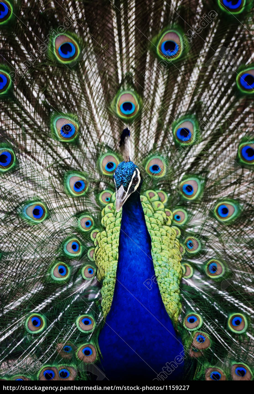 peacock - 1159227