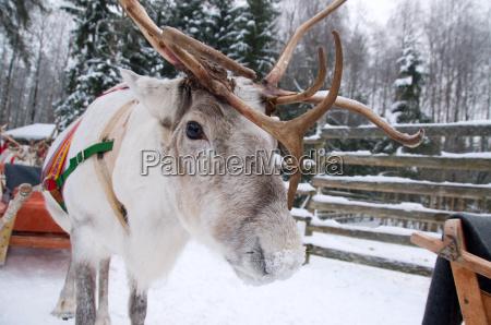 reindeer at the polarkreis