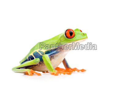red eyed tree frog isolated on