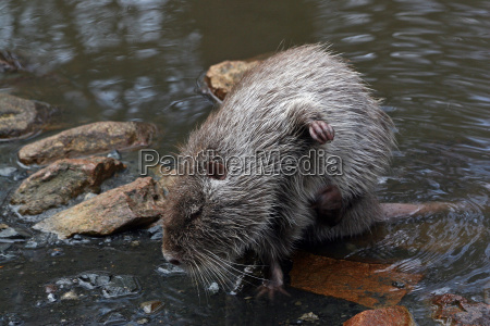 animal rodent skin paw greet river