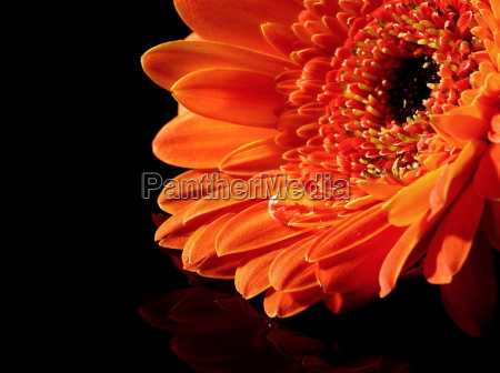 gerbera the spring boss